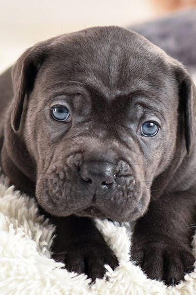 How To Crate Train A Cane Corso Puppy Dog Training Crate