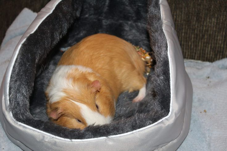 10 tricks and tips to get your guinea pig out of his cage more and interacting with family. Set out towels, beds, kiddie pools as play pens for your guinea pig. Guinea pigs are great pet companions for kids....and adults like me who are animal lovers! Guinea pig sleeping in his bed #guineapigs #pets #petplay #caringforpets #compassion #kindness #empathy #animals #petsforkids #petlovers