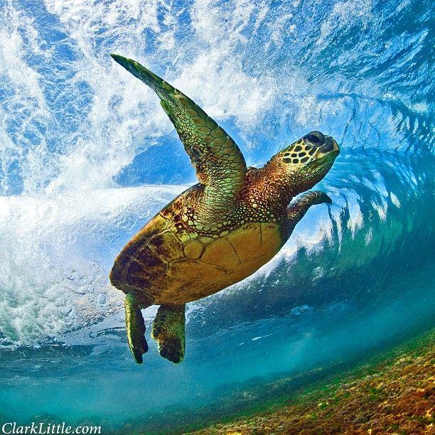 Clark Little Photography Hawaii Sea Turtle Hawaii