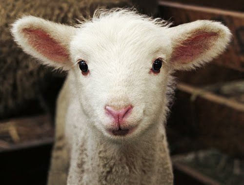 Sweet Little Smiling Lamb   Content in a Cottage