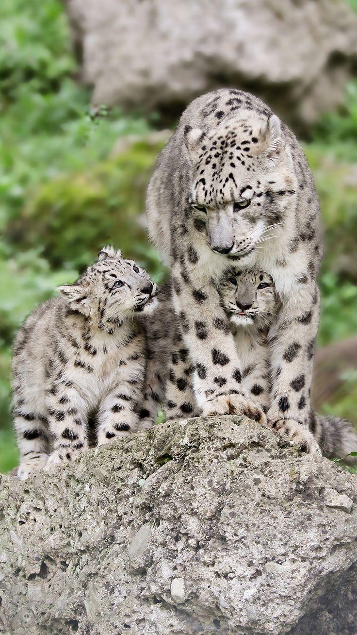 Mum - Hellbrunn, Robert Duben image #big cats #BigCatFamily