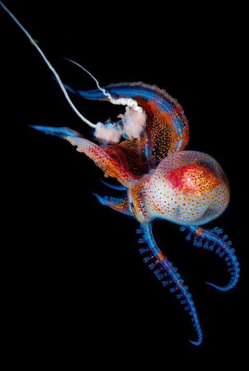 Blackwater, luminosos habitantes de un mar oscuro, por Joshua Lambas - Beautiful Close-Up Underwater Photos of Luminous Sea Creatures