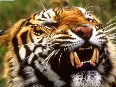 El Tigre, uno de los felinos más extraordinarios de la Tierra.