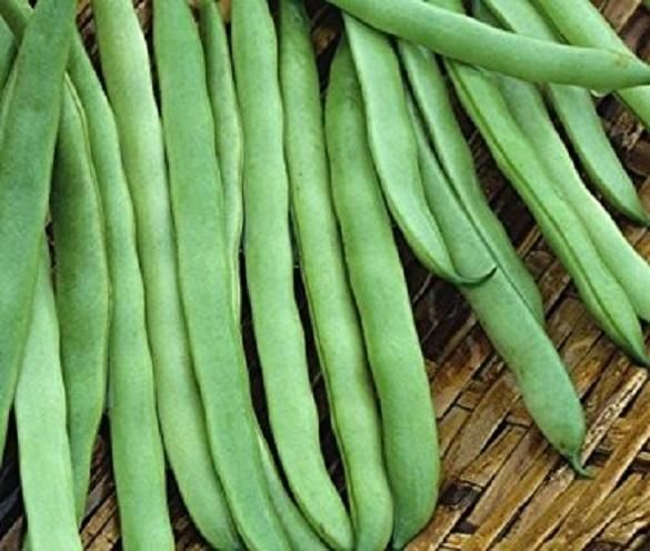 Commodore Bush Bean Seeds. The round stringless and meaty pods make it an excellent home garden bean