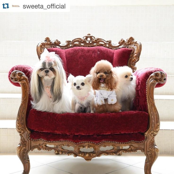 @sweeta_official さんより 可愛い可愛い小さなお友達たちと一緒にがんばりますみんな可愛くてあず巨大笑 右からソフィーちゃんレアくんlocoちゃんあずあずの顔ってば comment close  #Repost @sweeta_official with @repostapp.  SWEETA official models of the dog 2016   #sweeta #dog #dogofinstagram #dogphoto #dogstagram #lovedog #doglover #ilovedogs #igdog #dogfashion #dogmodel #犬 #犬服 #モデル犬 #pooble #プードル #chihuahua #チワワ #dachshund #ダックス #yorkshireterrier #ヨーキー #shihtzu #シーズー #pomeranian #ポメラニアン#shihtzu #shihtzugram #sweetdog #cutedog by cawaii_azuki