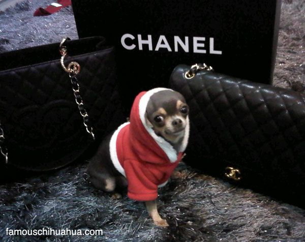 santa+chanel,+the+adorable+tiny+teacup-sized+chihuahua+fashionista!