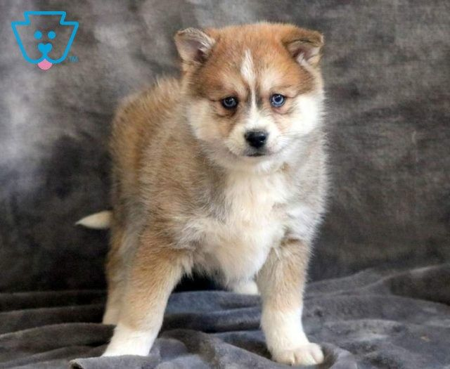 Ginger In 2020 Pomsky Puppies Puppies Pomsky