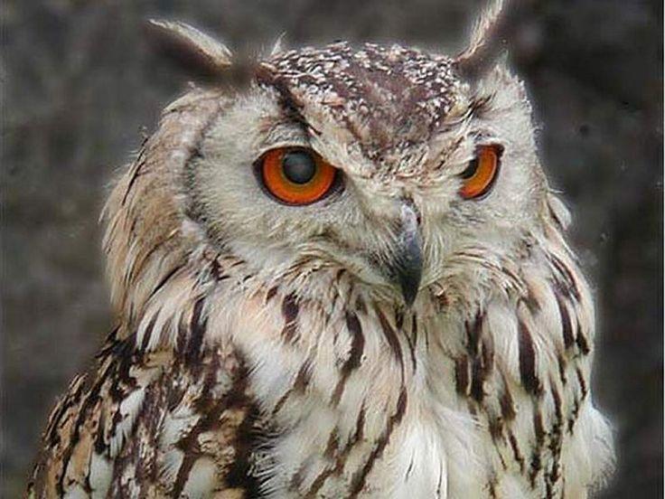 : Civett Owl, Tattoo Ideeën, Owl Wisdom, Owl And, Google Search, Owl Iwishi, Birds I D,  Great Gray Owl, Great Grey Owl
