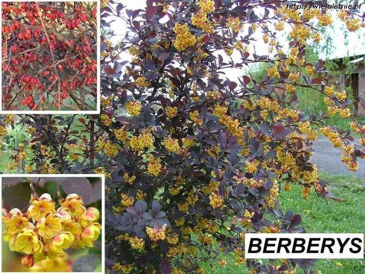 Berberys