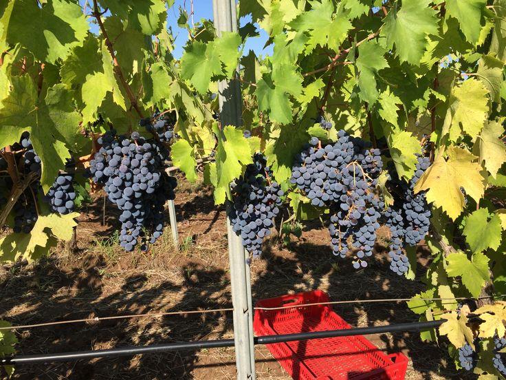 Grapes and Puglia sun