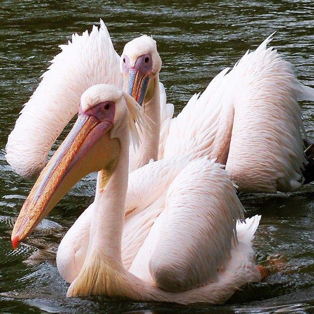 Pelicanos ⛅ Zoológico de SP #concursoloucospelavidaselvagem  #loucospelavidaselvagem  #pelicano #avifauna #zoologico avifauna,#zoologico,#loucospelavidaselvagem,#concursoloucospelavidaselvagem,#pelicano