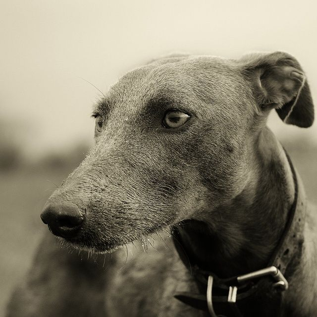16 Best Greyhound Images On Pinterest Greyhounds