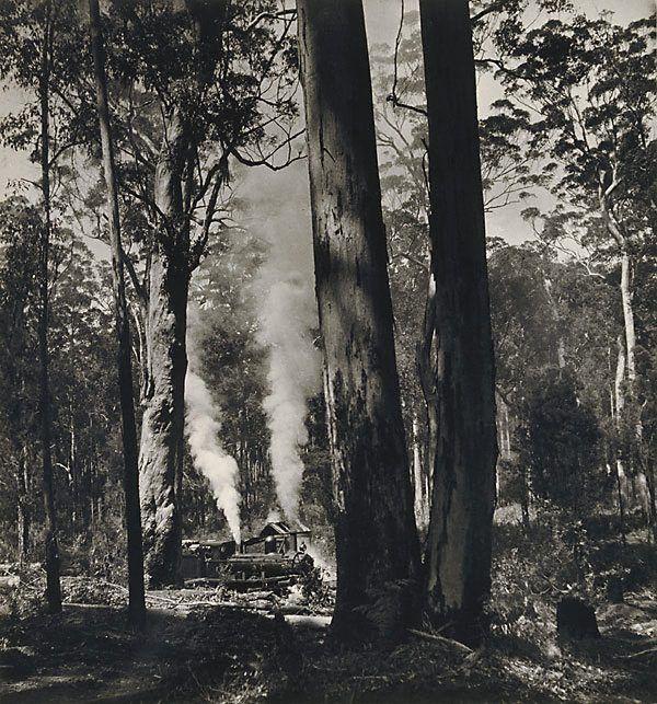 Karri Country Western Australia by Max Dupain - 1947