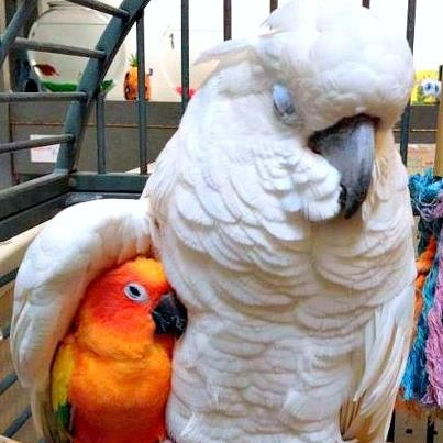 Indian Ring Neck And Two Conures