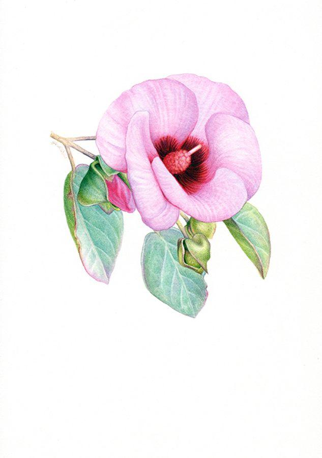 Sturt's Desert Rose Botanical Illustration ~ Australian Geographic Magazine Issue 130-0