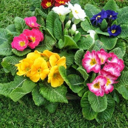 Çuha Çiçeğinin Faydaları Nelerdir