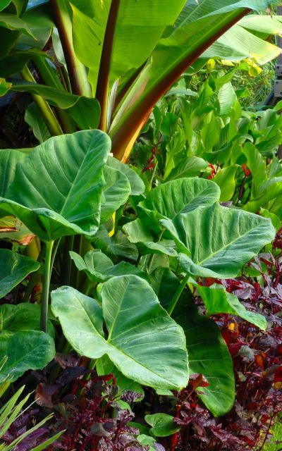 A nice picture of a cool tropical garden featuring tender exotic foliage plants. The large leaved plants in the foreground are Xanthosoma (coco yam or elephant ears) These are grown annually from grocery bought tubers.