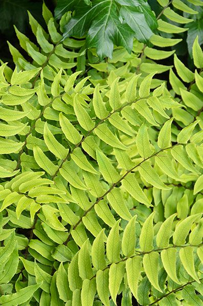 Japanese holly fern - shade loving semi-evergreen fern with light green leaves divided by a black stem. Adds interest all year round but at its best from late spring through to autumn.