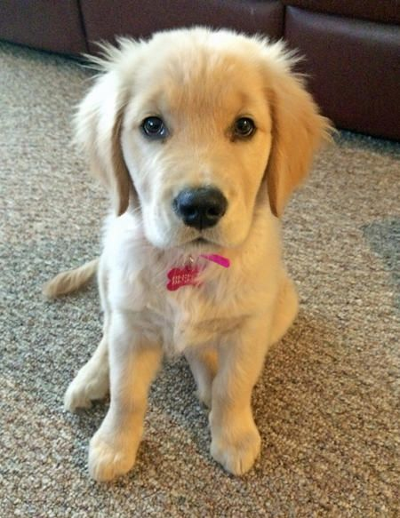 Lola the Golden Retriever