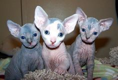 I don't care what anybody says, They are adorable. #hairlesscats