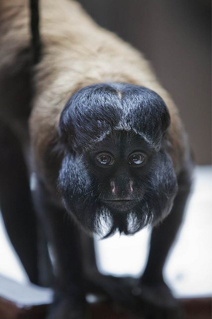 Red-backed Bearded Saki | Red Backed Bearded Saki Monkey 5D 8410