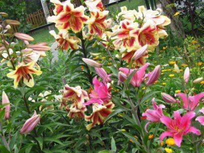 Лилии -выращивание и уход в саду и на даче