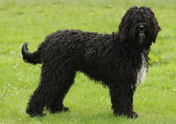 Photograph barbet: French water dog by leurenclickbank on 500px