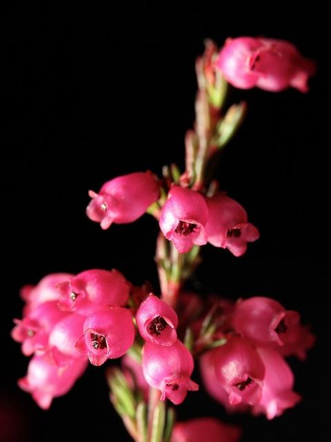 Erica gracilis / syyskellokanerva