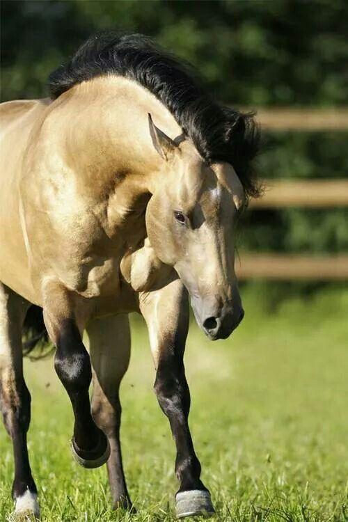 quarter horse buckskin - photo #21