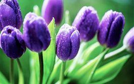 Lila Tulpen, Tau, Blätter
