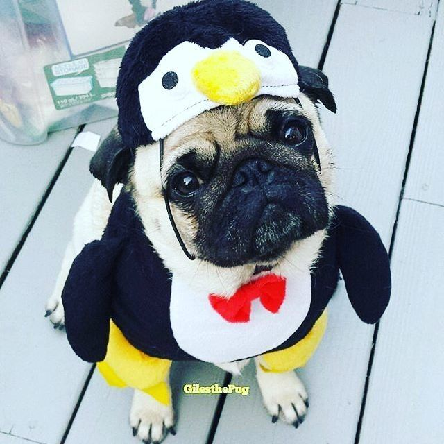 Cute adorable pingouin. How i love dressign this pug. Carlin - doguillo