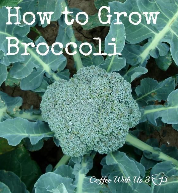 How to Grow Broccoli, from seed to plate.  Every tip for growing broccoli in the garden.