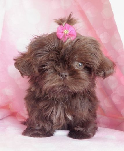 Pretty chocolate shih tzu puppy
