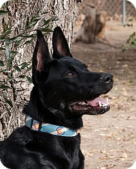 Denver, CO - Labrador Retriever/German Shepherd Dog Mix. Meet Rango, a dog for adoption. http://www.adoptapet.com/pet/17179188-denver-colorado-labrador-retriever-mix