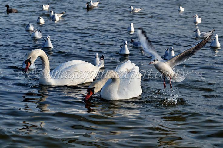 Constanta, Cygnes, frozen lake, lac inghetat, Lebede, Mouettes, mowen, parc, pescarusi, Seagulls / Schwäne, Swans