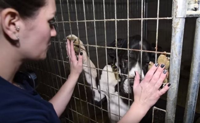 The 84 Great Danes Rescued From Deplorable Conditions In A Mansion