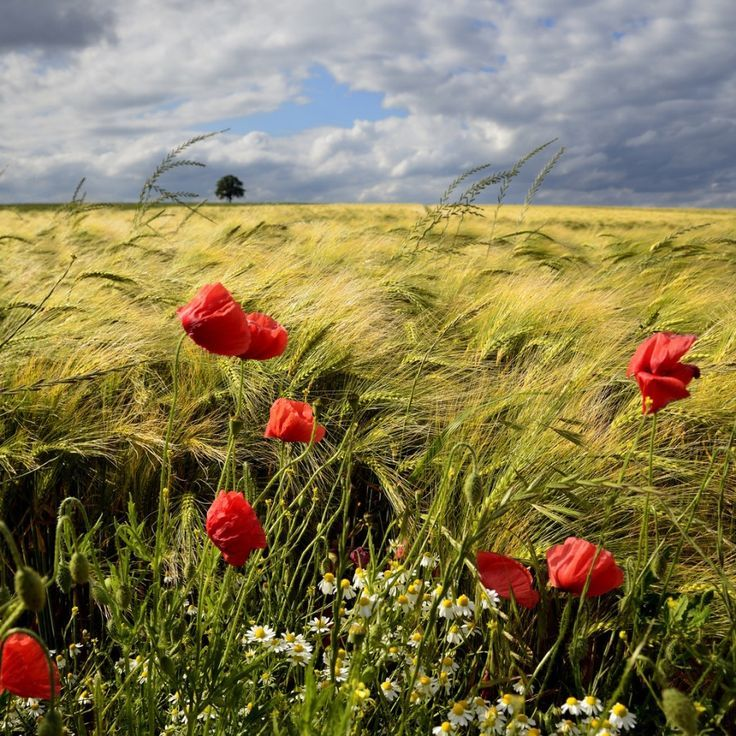 Reminds me of my childhood-wheat fields and poppies