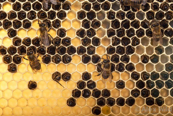 жизнь пчелы картинки лотнер был