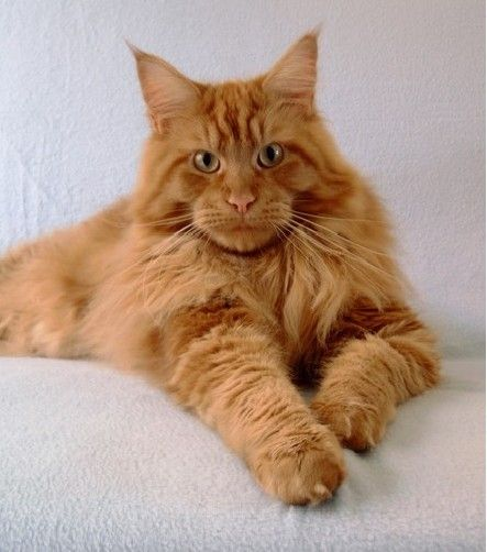 #MaineCoon #RedSolid Triumph Thunder of Shadowlady