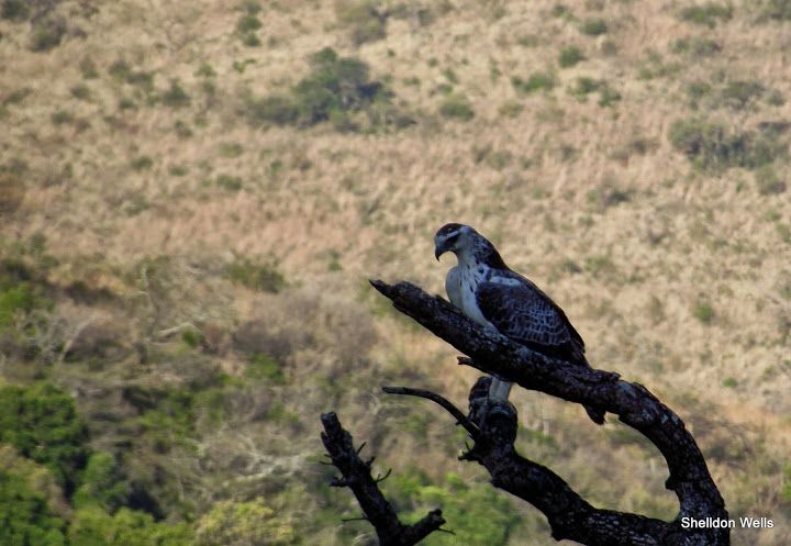 Osprey at Hluhluwe Imfolozi Game Reserve