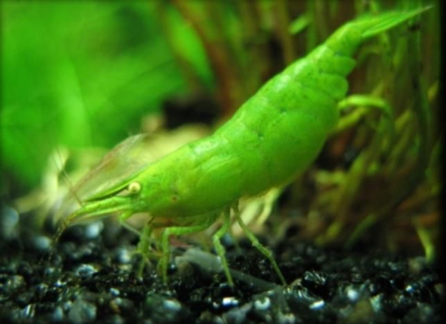 45 best images about freshwater shrimp on pinterest for Shrimp fish tank