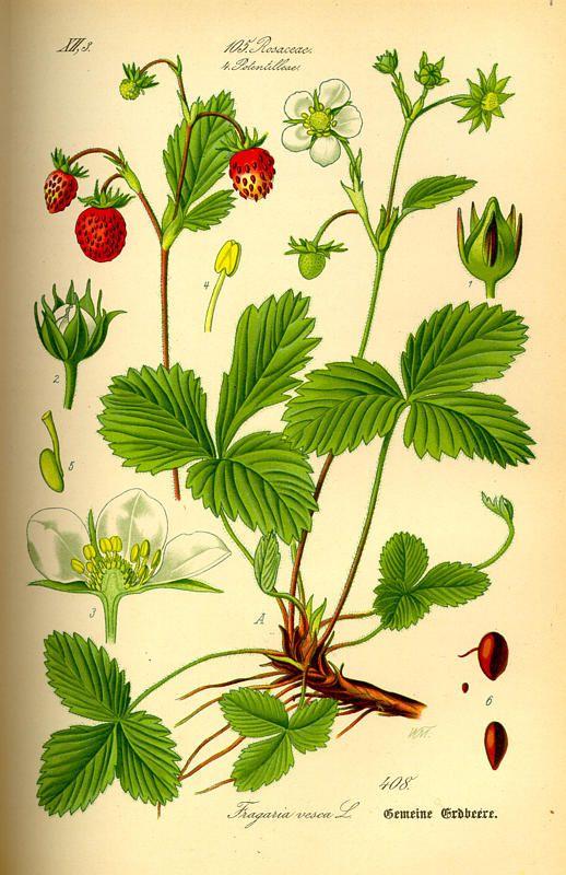 Flora von Deutschland Österreich und der Schweiz (1885) Fragaria vesca aus der Familie Rosaceae