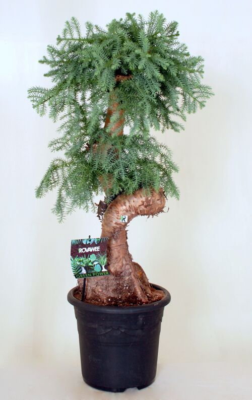 Dropbox - Green Power- Araucaria stam 1.jpg