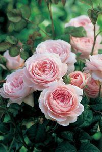 Queen of Sweden - David Austin English Rose