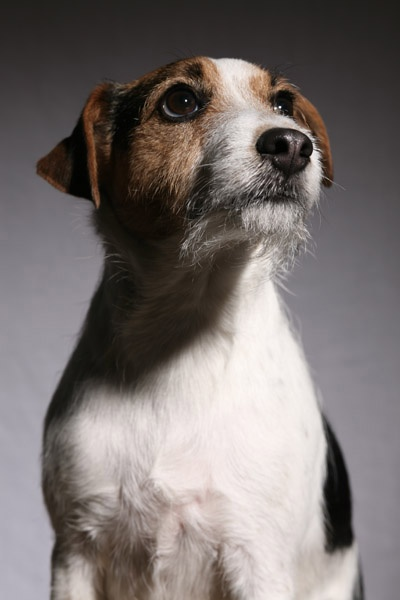 "The Parson Russell (formerly Jack Russell) terrier was bred to hunt small animals. He's a great companion for a country kid, but too distractable & high energy for many others. The trainer of Eddie, on TV's ""Frasier,"" reports that the seemingly mellow dog was a training nightmare."