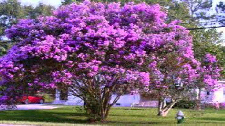 Purple Crepe myrtle Trees For Sale $2.75 at Tn Online Plant ...