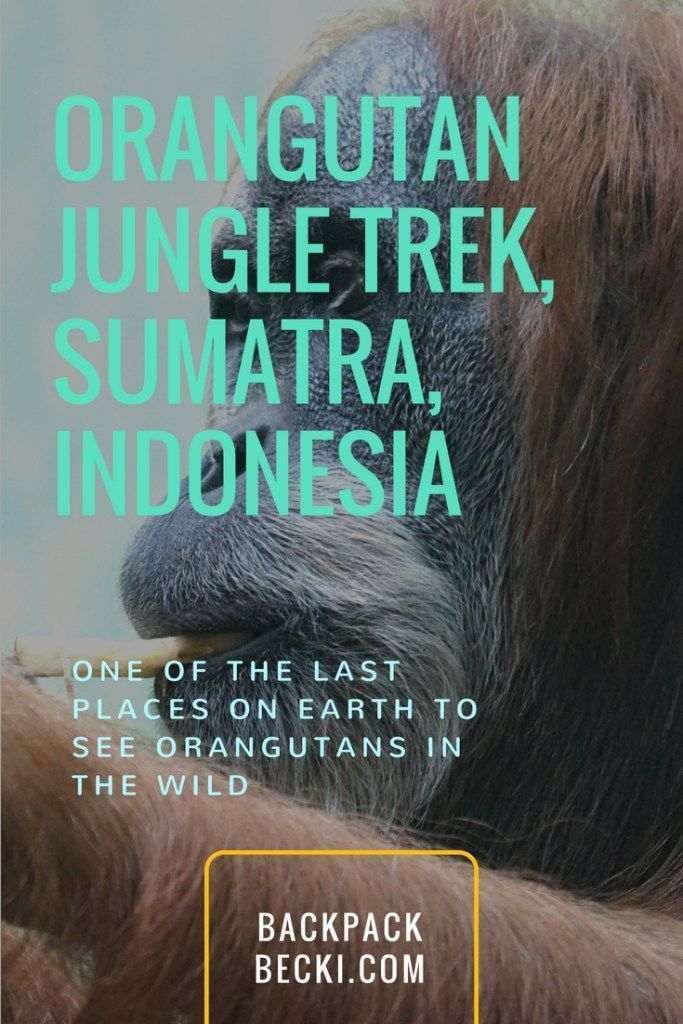 See 'Rang-Tang' in the Wild – Orangutan Tour, Sumatra, Indonesia