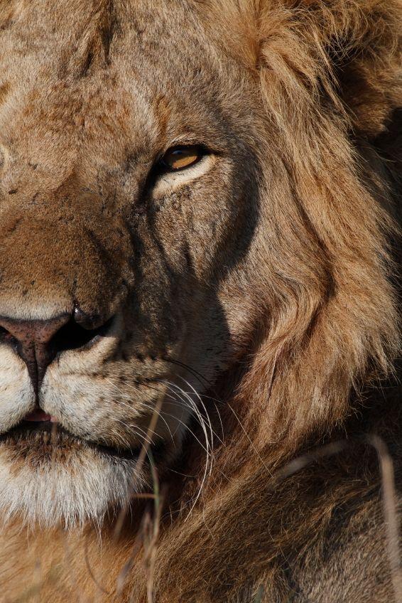Lion, Kenya.
