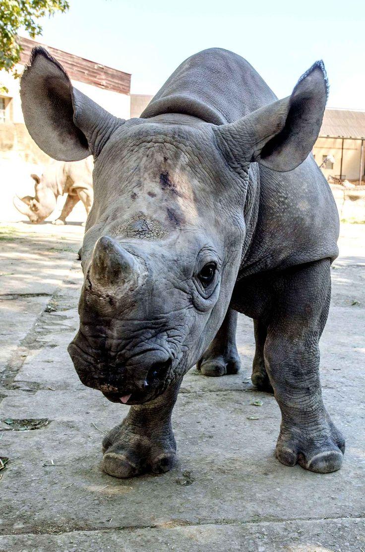 Petit rhinocéros noir