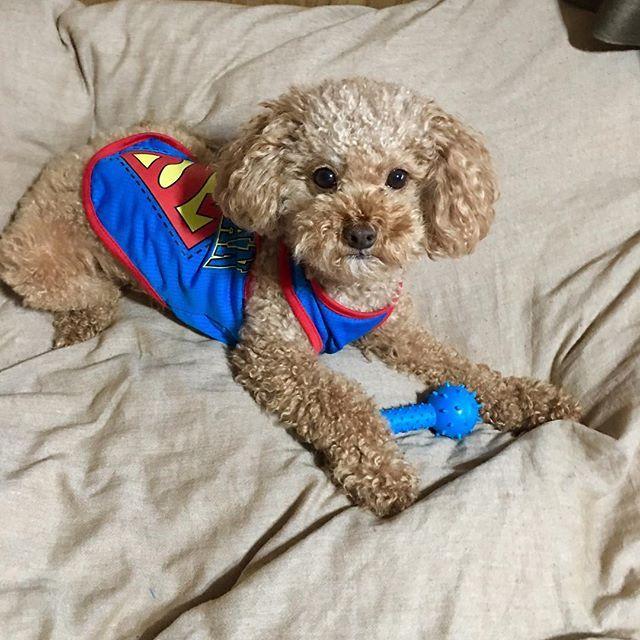 韓国南大門市場で買ったスーパーマンTシャツとオモチャ 気に入ってくれた😊? . . . #あんず#スーパーマン#南大門市場 安い#韓国#tシャツ#似合ってるよ#気に入ってくれた?#愛犬#親バカ#犬バカ#可愛い我が子#犬のいる暮らし #犬は家族#寂しがり屋#トイプードル#トイプードル男の子 #トイプードル大好き #instapic #instalike #instalife #instadog #dog #doglife #dogwalk #doglove #tokyo #japan